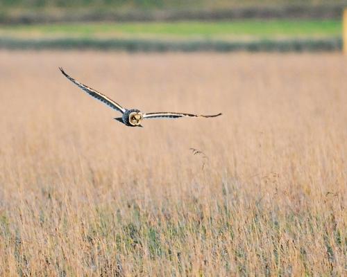 Hunting_owl-1