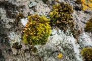 lichen-2