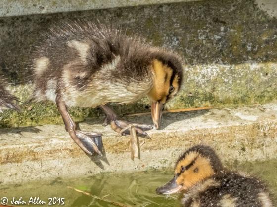 duckling 3