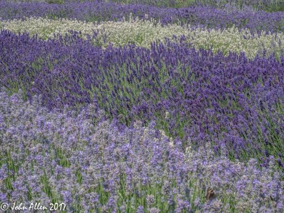lavender colours