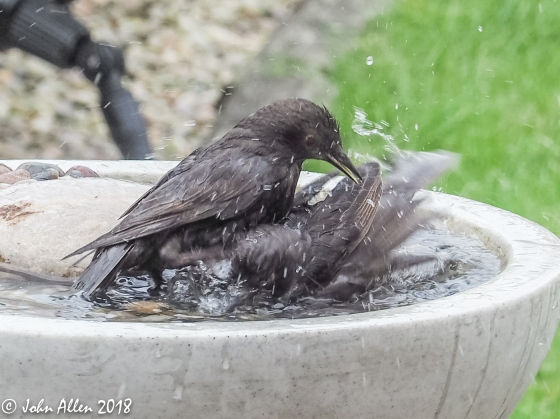 STARLING BATH TIME by John Allen-2