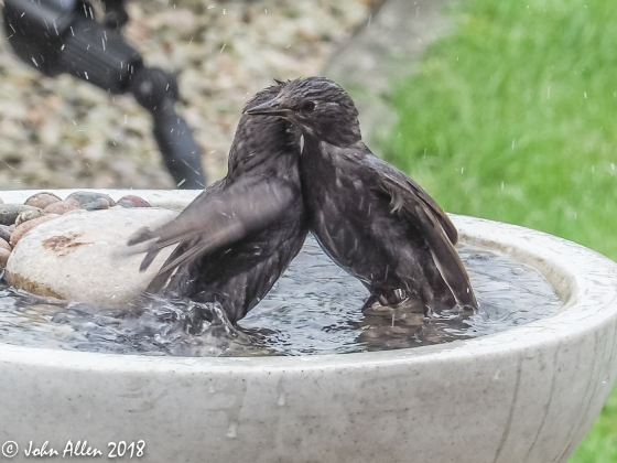 STARLING BATH TIME by John Allen-3