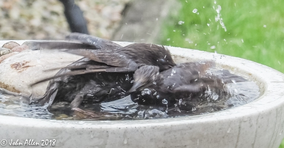 STARLING BATH TIME by John Allen-4
