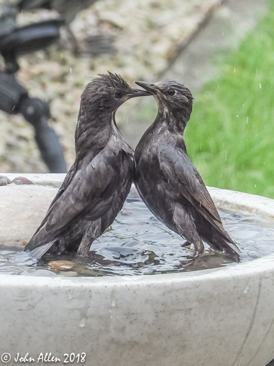 STARLING BATH TIME by John Allen-6