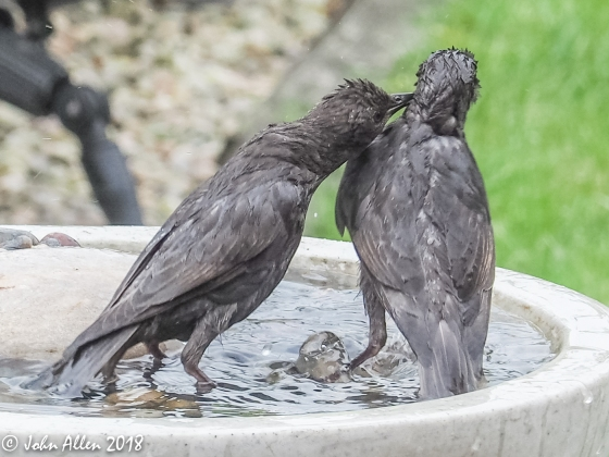 STARLING BATH TIME by John Allen-8