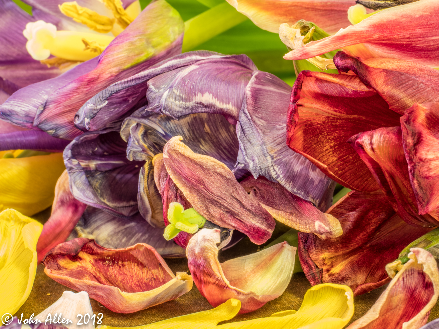 OLD TULIPS by John Allen
