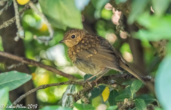 YOUNG ROBIN by John Allen-2
