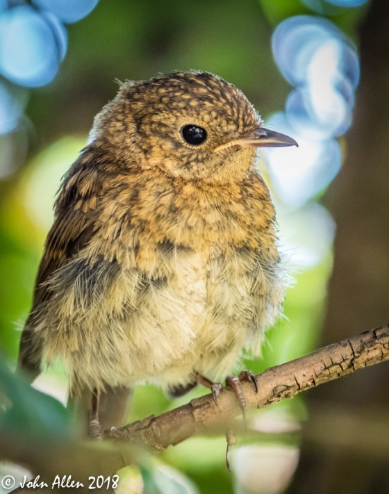 YOUNG ROBIN by John Allen-3