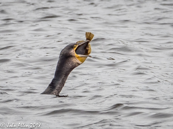 CORMORANT & CATCH by John Allen-4