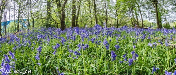 03-Bluebells by John Allen