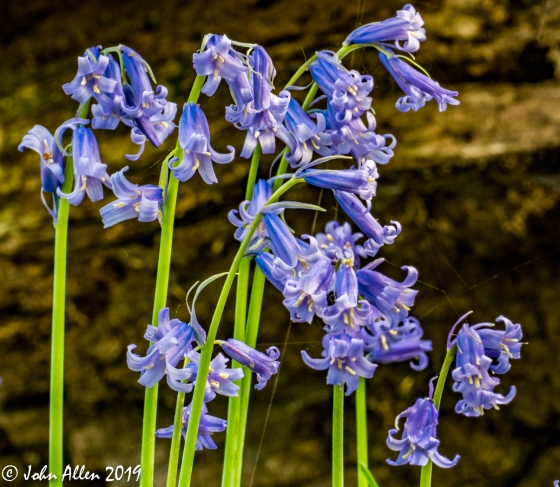 04-Bluebells by John Allen