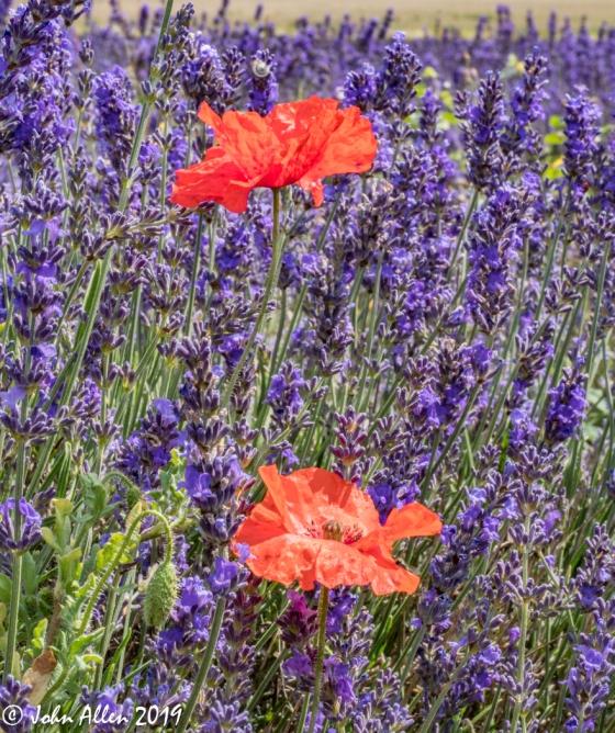 Hithchin Lavender @ Ickleford